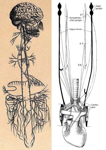 vagus nerve 2