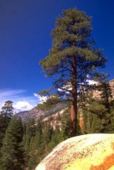 jeff-pine