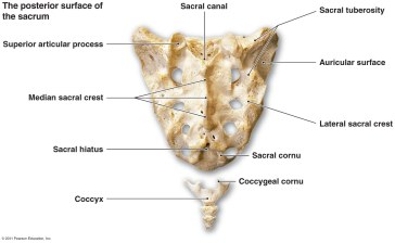 tailbone coccyx